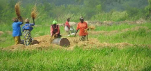 Obisk riževega polja v Gambiji